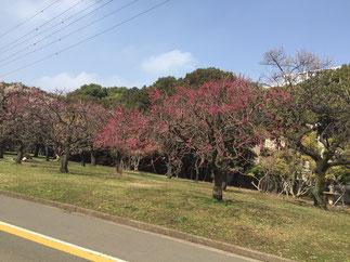 先週の小春日和、駒沢公園にて。梅がたくさん咲いていました。