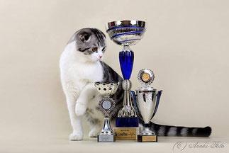 кот скоттиш-фолд черный серебристый пятнистый биколор