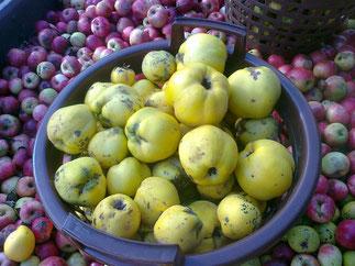 Quitten & Äpfel