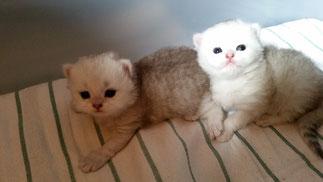 das kleine Kater-Duo im Alter von 4 Wochen (Foto: 30.7.2016)