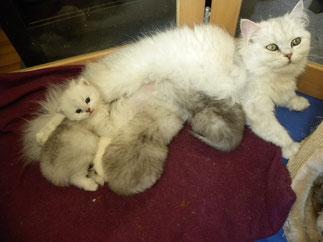 Belle Amy mit ihren Kitten im Alter von 6 Wochen (Foto: 2.4.2016)