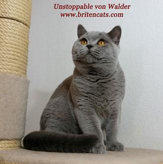 Ch. Unstoppable von Walder im Oktober 2015 (Vater in blue)