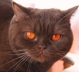 Arweena of President West (Mutter in chocolate): Cattery of Kotoffski