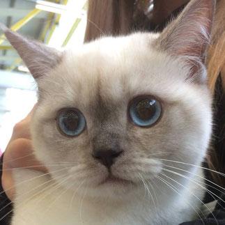Lillyfee auf einer Katzenausstellung in Bremen (Foto: 22./23.7.2017)