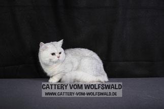 Sir Stanley vom Wolfswald, im Alter von knapp 12 Monaten (Foto: 28.2.2016, Gießen)