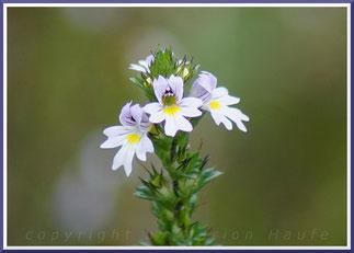 Gemeiner Augentrost (Euphrasia officinalis)