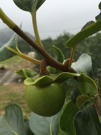 あたご柿摘果時期 7月上旬