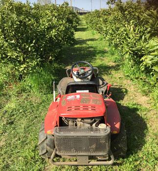 草刈り後のみかん畑 Mikan Orchard