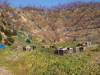梅の受粉【ミツバチ巣箱設置】