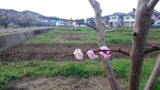 植栽苗木【初開花:2016】