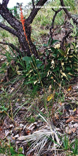 Dyckia mauriziae am Typstandort / at type habitat / na localidade do tipo