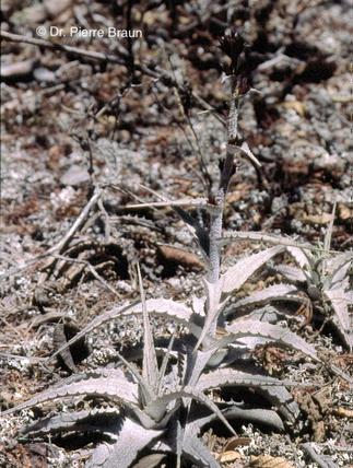 Orthophytum toscanoi ssp. atropurpureum am Typstandort / type locality / localidade do tipo