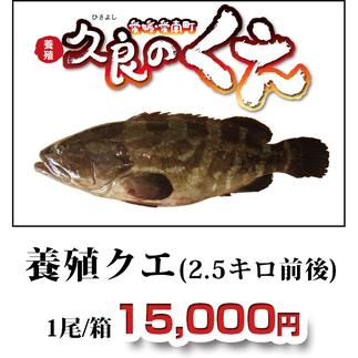 久良のくえ 養殖クエ(2.5キロ前後)