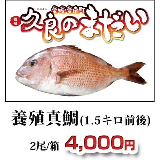久良のまだい 養殖真鯛(1.5キロ前後)