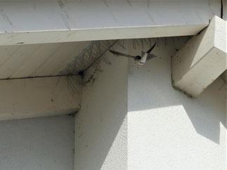 Eine Mehlschwalbe findet an diesem Haus keine Möglichkeit mehr zu brüten - Foto: E. Sonnenschein