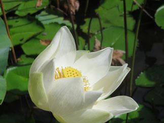 Die Schönheit der Lotusblume.