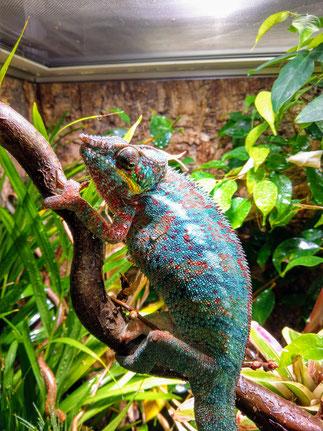 Furcifer pardalis male