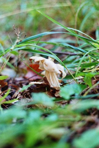 Die anmutig hübsche, würzig duftende, doch giftige Herbstlorchel kommt hier recht häufig in Buchenwäldern vor.