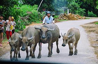 Wasserbüffel sind auf der Landstraße unterwegs