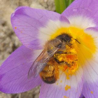 Foto einer Mauerbiene