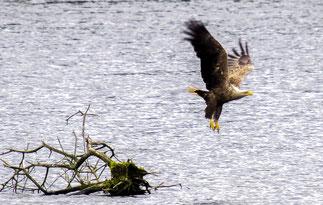 Durch Windkraftanlagen können Seeadler massiv gefährdet werden. - Foto: Kathy Büscher