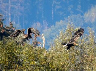 Das Seeadler-Paar der Auenlandschaft. - Foto: Kathy Büscher