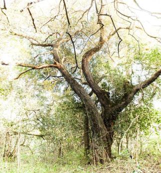 アフリカンツリー 許しの木 ハードペア