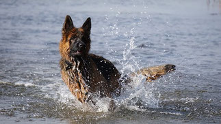un berger allemand se baigne dans l'eau de mer par coach canin  16 dressage chien en charente