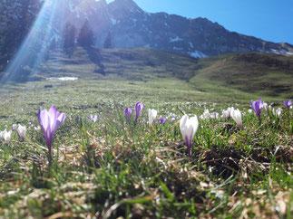 Nicht nur viel Arbeit, sondern auch Genuss - das ist der Frühling auf der Musenalp.