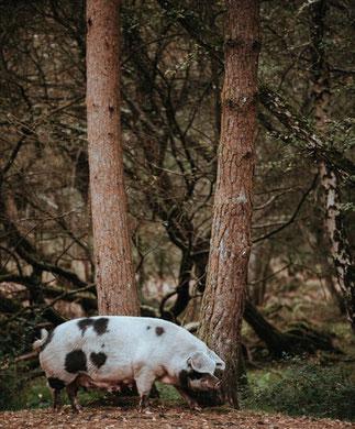 Das Trüffelschwein (Sus scrofa domesticus) ist ein gewöhnliches Hausschwein und wurde zur Lokalisierung der Trüffel (Fruchtkörper) in den Wäldern von Europa und Nordamerika bis Anfang der 1980ern eingesetzt.