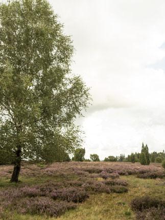 Bild: Typische Heidelandschaft