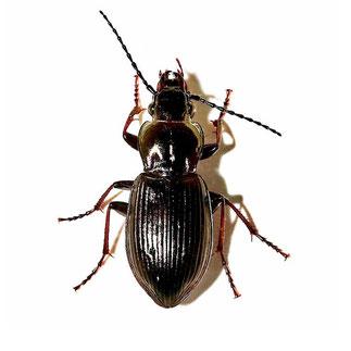 Pterostichus oblongopunctatus oblongopunctatus  (Fabricius, 1787)