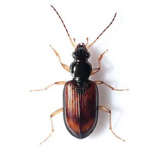 Bembidion testaceum testaceum  (Duftschmid, 1812)