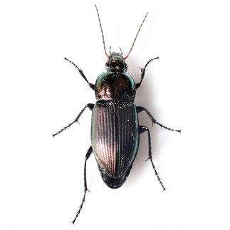 Poecilus versicolor  (Sturm, 1824)
