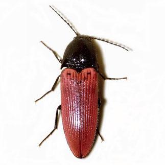 Ampedus sanguineus (Linnaeus, 1758)