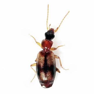 Calodromius spilotus  (Illiger, 1798)