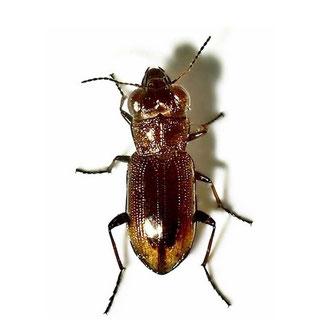 Notiophilus biguttatus  (Fabricius, 1779)