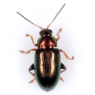 Crepidodera plutus  (Latreille, 1804)