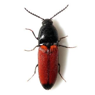 Ampedus elongatulus (Fabricius 1787)
