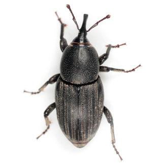 Sphenophorus striatopunctatus