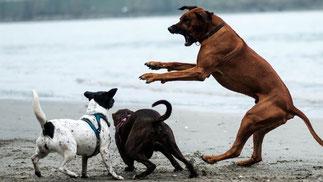 Aggressiver Rüde springt auf zwei Hunde los