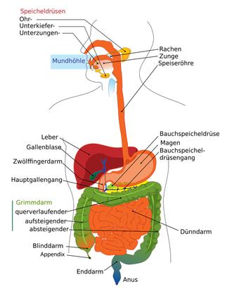 Verdauungssystem von Mund bis Anus