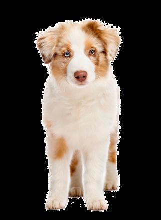 Australian-Shepard Welpe auf der Seite Welpen-Rundum-Paket der Hundeschule MOMO - Hundeschule Bremen & Lilienthal