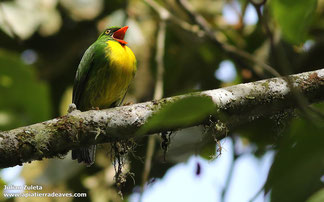 Golden-breasted Fruiteater (Pipreola aureopectus)