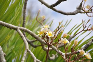 Frangipani Flower - von Redaktion