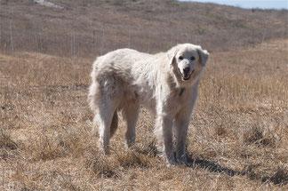 Wikipedia_Jerry Kirkhart _Los Osos, Kalifornien_An Akbash dog guarding a flock of sheep in California