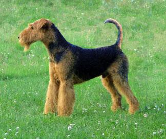 Wikipedia_Zuni1520_Airedale Terrier 14 Monate alt, nicht kupiert und dem Standard gemäß getrimmt.