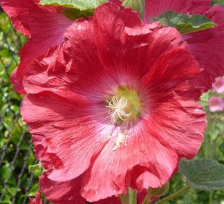 お花の色は、白 ~ ピンク各色 ~ 赤と連続的に変化。