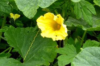 さりげなく咲く夏野菜の花