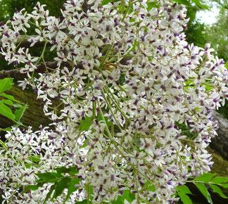 淡い紫色のお花・・